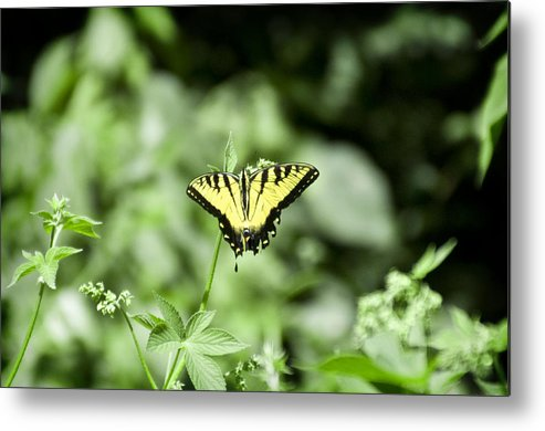 Afternoon Metal Print featuring the photograph Afternoon Butterfly by Bill Cannon