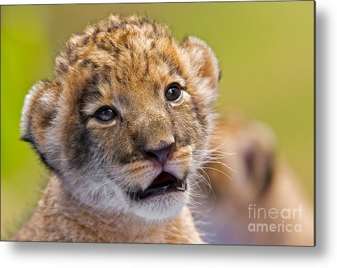 Khao Kheow Open Zoo Metal Print featuring the photograph Age Of Innocence by Ashley Vincent