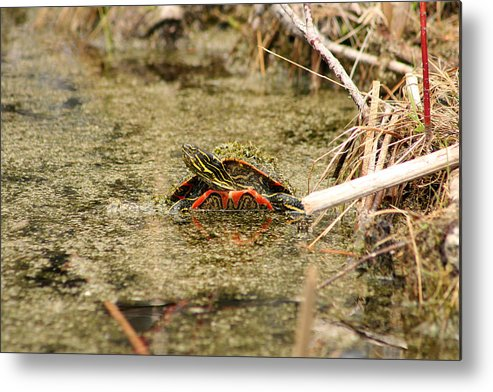 Western Painted Turtle Metal Print featuring the photograph Algae Covered Painted Turtle by Robert Hamm