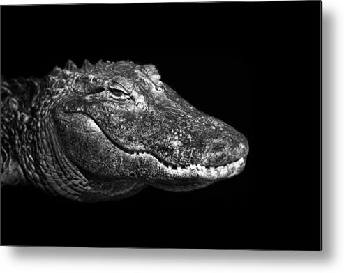 Alligator Metal Print featuring the photograph Alligator by Malcolm MacGregor