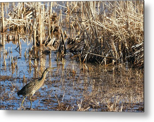 American Bittern Metal Print featuring the photograph American Bittern by Kathleen Bishop
