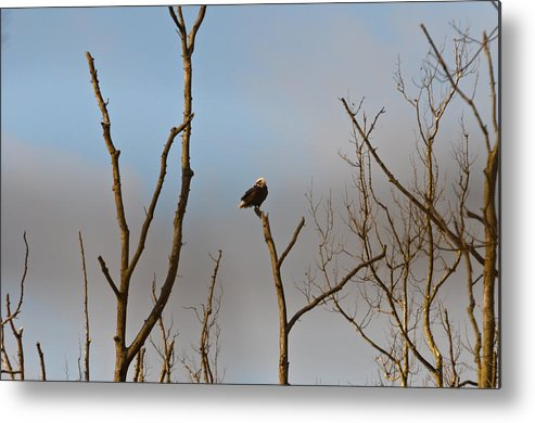 Eagle Metal Print featuring the photograph American Icon by Jeff Picoult