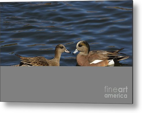 New Mexico Fauna Metal Print featuring the photograph American Widgeon Pair by John Shaw