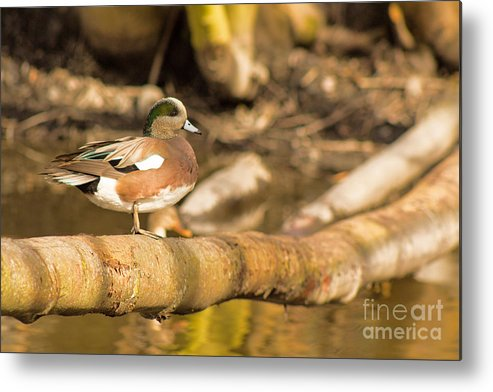 American Metal Print featuring the photograph American Wigeon by Calazone's Flics