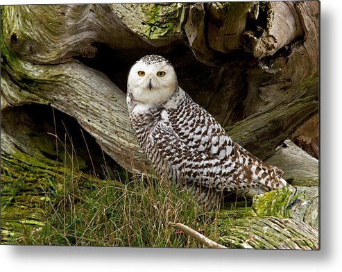 Snowy Owl Metal Print featuring the photograph Amongst The Driftwood by Shari Sommerfeld