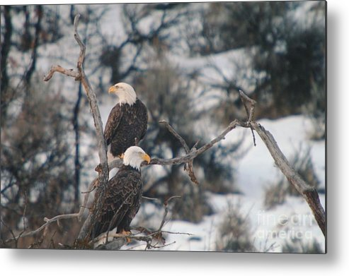 Eagles Metal Print featuring the photograph An Eagle Pair by Jeff Swan