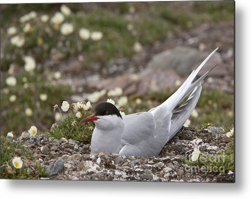 Nest Metal Print featuring the photograph Arctic Tern In Its Nest by John Shaw