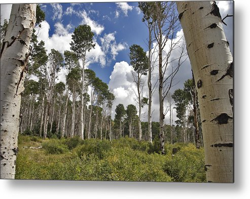 3scape Metal Print featuring the photograph Aspen Grove by Adam Romanowicz