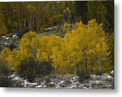 Quaking Aspen Metal Print featuring the photograph Aspens In Snow by John Shaw