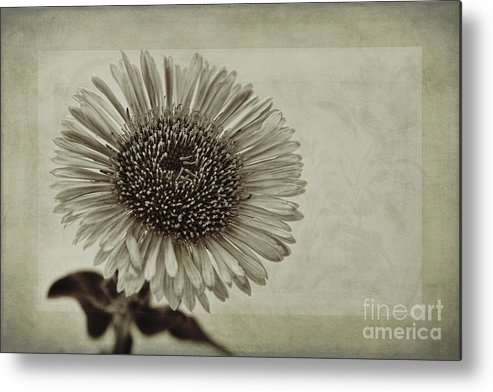 Toned Aster Metal Print featuring the photograph Aster With Textures by John Edwards