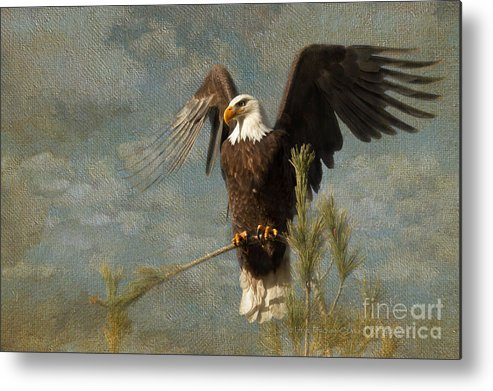 Bald Eagle Metal Print featuring the photograph At War by Beve Brown-Clark Photography