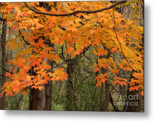 Illinois Metal Print featuring the photograph Autumn Canopy by Deborah Smolinske