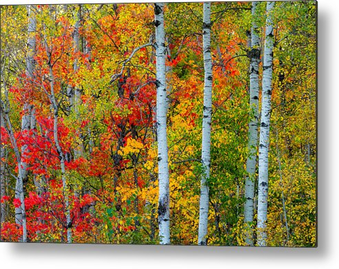 autumn Palette hawk Ridge lester Park lake Superior duluth minnesota fall Color Birch seven Bridges Rd Trees Nature greeting Cards mary Amerman Metal Print featuring the photograph Autumn Palette by Mary Amerman