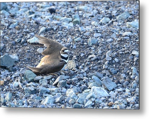 Killdeer Metal Print featuring the photograph Away From My Nest by Thurston Connard