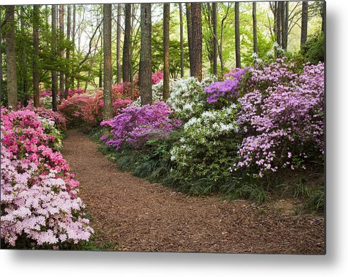 Azalea Metal Print featuring the photograph Azalea Trail by Eggers Photography