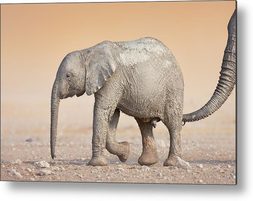Wild Metal Print featuring the photograph Baby Elephant by Johan Swanepoel