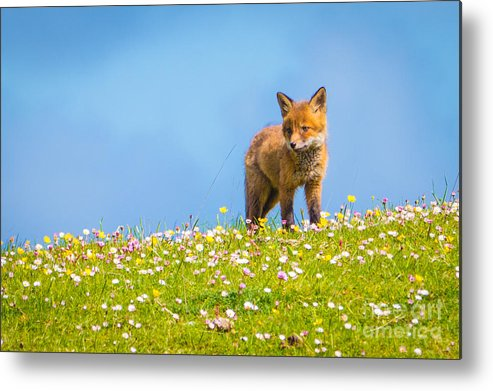 Baby Metal Print featuring the photograph Baby Fox In Field Of Flowers by Scott Carlin