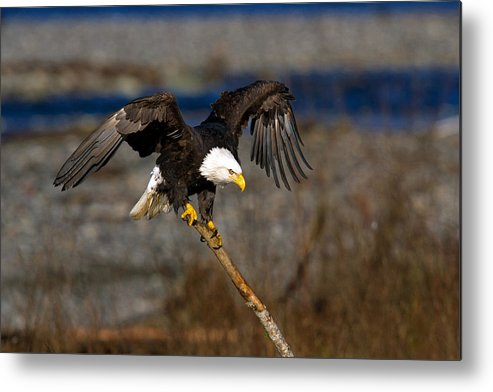 Bald Eagle Metal Print featuring the photograph Balance by Shari Sommerfeld