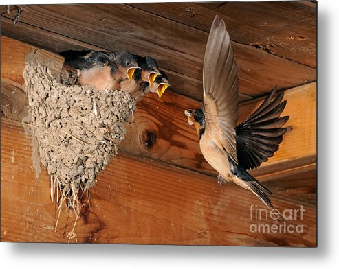 Barn Swallow Metal Print featuring the photograph Barn Swallow Nest by Scott Linstead