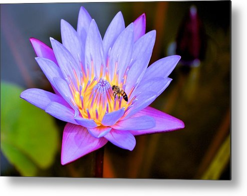 Lotus And Bee Print Metal Print featuring the photograph Beautiful Lily And Visiting Bee by Kristina Deane