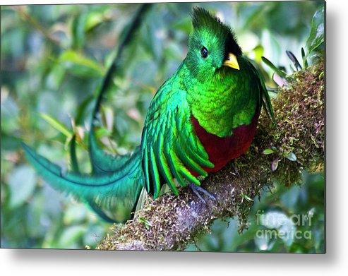 Bird Metal Print featuring the photograph Beautiful Quetzal 4 by Heiko Koehrer-Wagner
