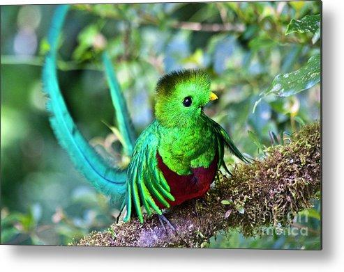 Bird Metal Print featuring the photograph Beautiful Quetzal 5 by Heiko Koehrer-Wagner