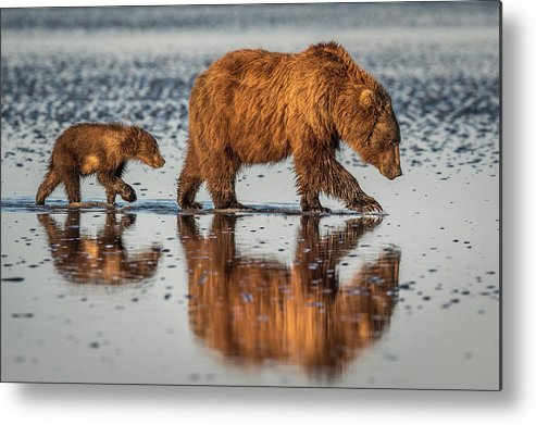 Bear Metal Print featuring the photograph Beauty And The Beast by Jeffrey C. Sink