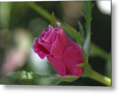 Pink Rose Metal Print featuring the photograph Before The Blossom by Carol Sweasy