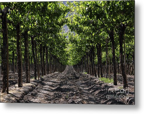 Vineyard Metal Print featuring the photograph Beneath The Vines by James Brunker