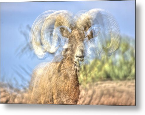 Sheep Metal Print featuring the photograph Big Horned Sheep 3 by Ethan Bach