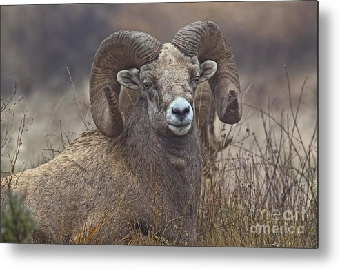 Columbia Valley Metal Print featuring the photograph Big Rams by James Anderson