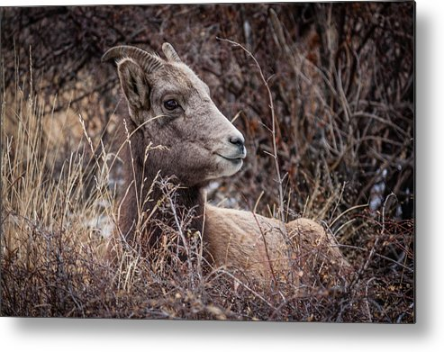 Colorado Metal Print featuring the photograph Bighorn Sheep 2 by Karen Saunders