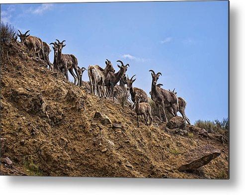 Bighorn Sheep Metal Print featuring the photograph Bighorn Sheep At Blue Mesa Reservoir by Priscilla Burgers
