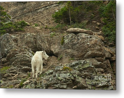 Billy Goat Metal Print featuring the photograph Billy Goat 3 by Natural Focal Point Photography