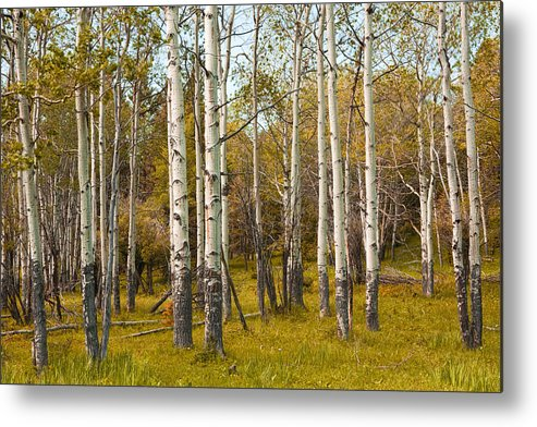 Art Metal Print featuring the photograph Birch Tree Grove No. 0126 by Randall Nyhof