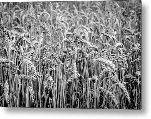 Wheat Metal Print featuring the photograph Black And White Wheat by Pati Photography