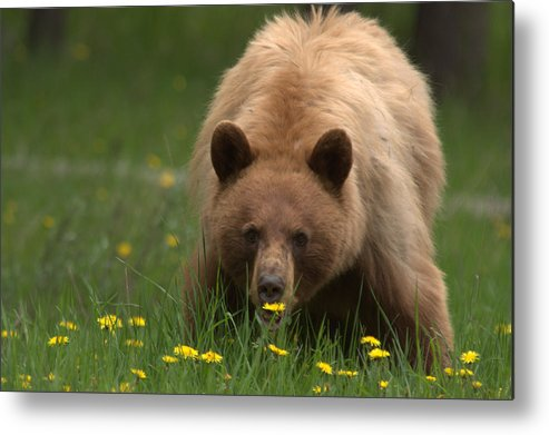 Bear Metal Print featuring the photograph Black Bear by Frank Madia