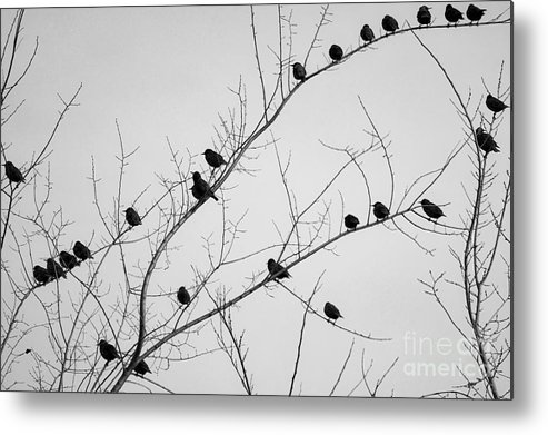 Black Birds Metal Print featuring the photograph Black Birds by The Noeto