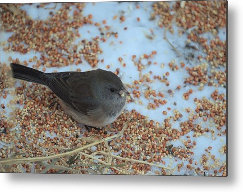 Bird Metal Print featuring the photograph Black Eyed Junco by Bonfire Photography