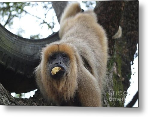 Monkey Metal Print featuring the photograph Black Howler Monkey by CJ Everhardt