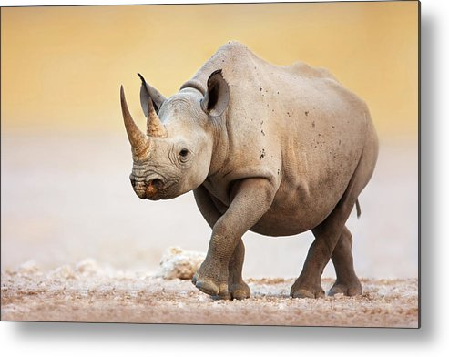 Square-lipped Metal Print featuring the photograph Black Rhinoceros by Johan Swanepoel