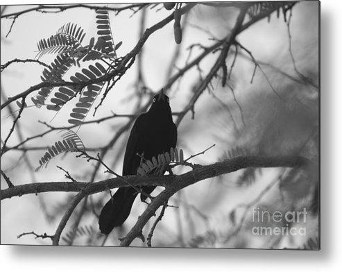 Birds Metal Print featuring the photograph Blackbird by Maz Johnrose