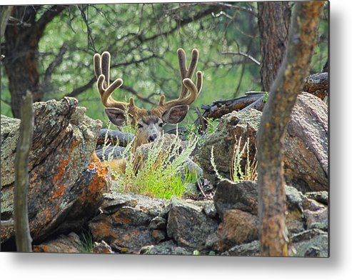 Deer Metal Print featuring the photograph Blending In by Shane Bechler