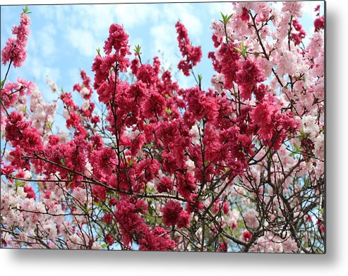 Bloom Metal Print featuring the photograph Blooming by Penelope Murray
