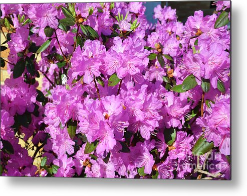 Quincy Illinois Metal Print featuring the photograph Blooming Pink Azaleas by Luther Fine Art