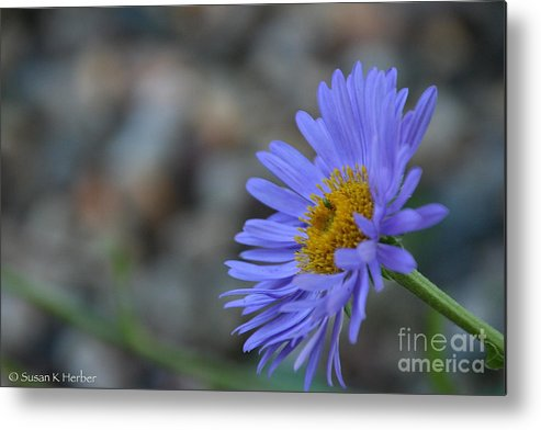 Flower Metal Print featuring the photograph Blue Aster by Susan Herber