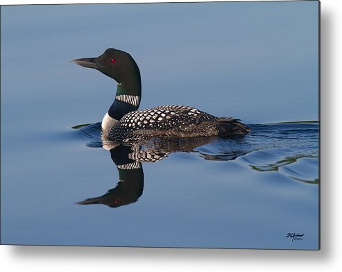 Loon Metal Print featuring the photograph Blue Loon by Don Anderson