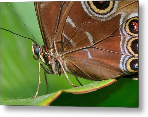 Metal Print featuring the photograph Blue Morpho by Jim Thompson