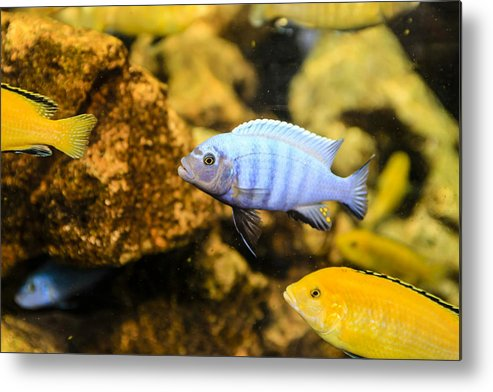 Electric Metal Print featuring the photograph Blue Reef Fish by Chris Smith