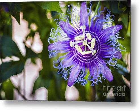 Violet Metal Print featuring the photograph Blue Violet by Lacie Oakey